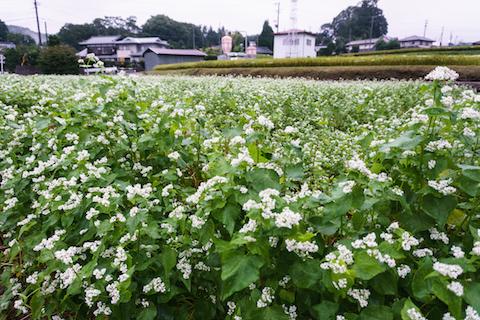取材当日、近所の畑ではソバの花が満開!