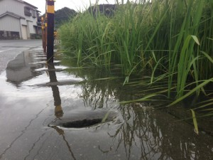 水に浸かった稲